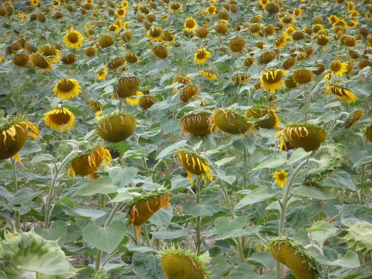 Close-up Day Field Of Sunflowers Fragility Full Frame Growth High Angle View Nature No People Outdoors Plant Sunflowers