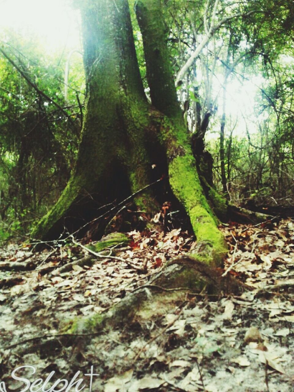 forest, nature, tree, tree trunk, tranquility, growth, beauty in nature, day, no people, outdoors, wilderness, tranquil scene, leaf, scenics, branch, landscape, wilderness area, close-up