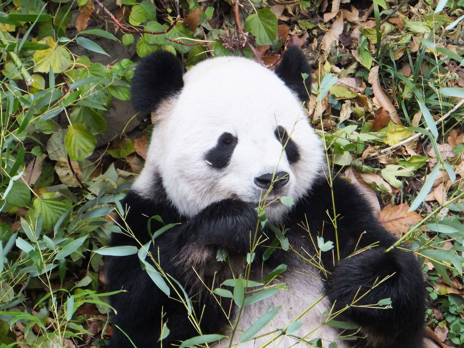 Beautiful stock photos of panda, Animal Markings, Animal Themes, Animals In The Wild, Close-Up