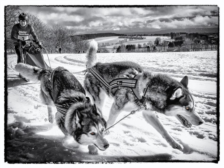 sled dog race Sled Dog Race Animal Themes Day Dog Dog Racing Domestic Animals Husky Outdoors Pets Sky Sledge Dog Sport Togetherness Winter