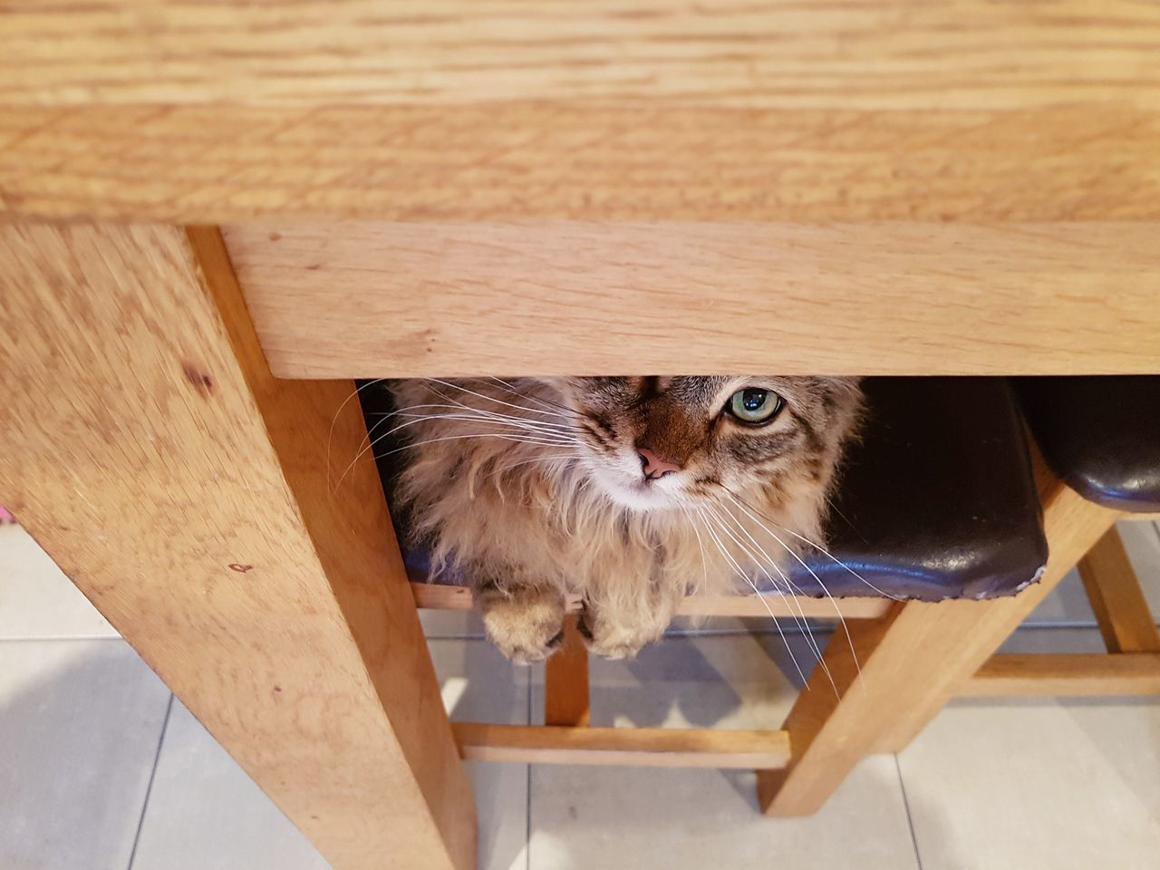 Feline hiding spot under the dining room table. Pets Domestic Cat Domestic Animals Animal Themes Mammal One Animal Wood - Material Feline Indoors  No People Portrait EyeEmNewHere Samsung Galaxy S7 Edge Maine Coon Cat Cat Lovers Inquisitive Looking For Trouble Staring Cats Of EyeEm Feline Portraits Greeneyes Wide Eyed Funny Pets Funny Cats Hiding Cat