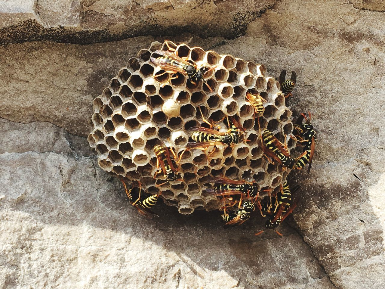 Wasp nest Wasp Wasp At Work Wasps Nest Wasp Nest Wasps Nature World Of Nature Insects  Stinger Animal Black And Yellow  Insect Rock Nest Hive Life