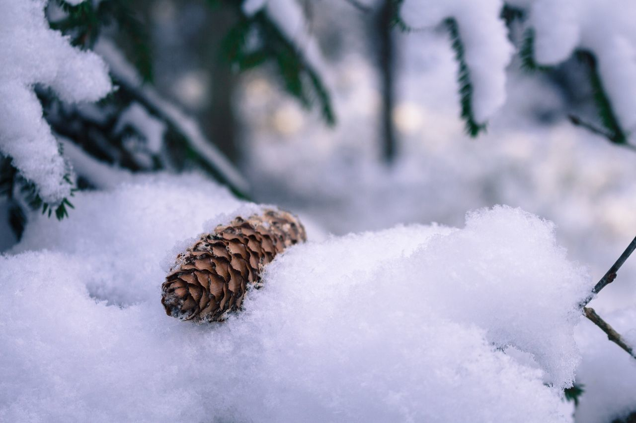 Close-Up Of Pine Cone On Snowy Field