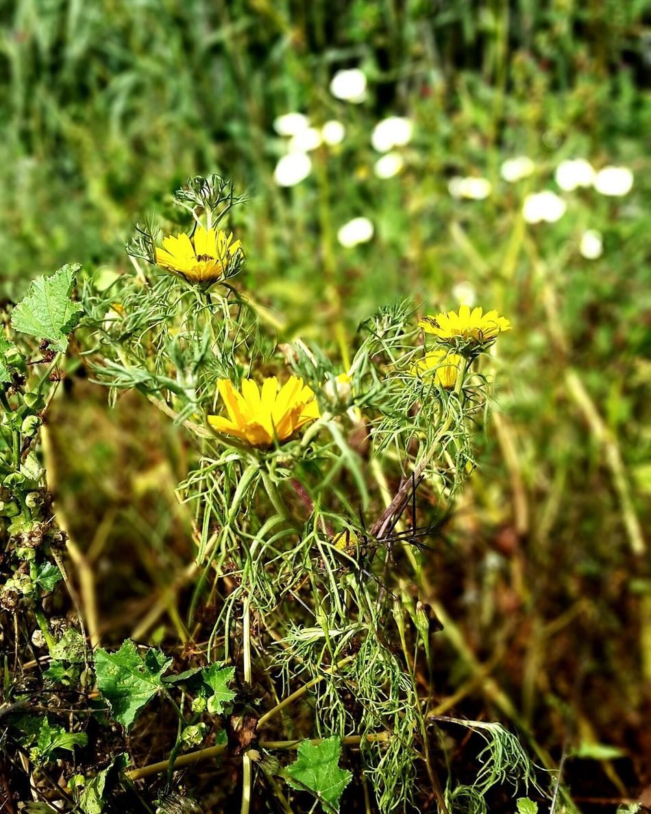 Yellow Green Color Beauty In Nature Flower No People Flower Head Nature Morocco 🇲🇦 Agadir Morocco Green Grass Green Color White Color Jardin White Flowers Yellow Flower