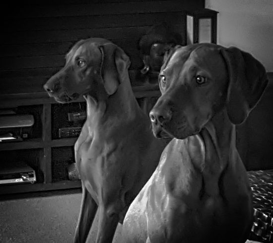 Two dogs Alert Animal Animal Body Part Animal Head  Beautiful Beautiful Dogs Close-up Dog Dogs Inside Domestic Animals Focus On Foreground Mammal No People Noble Pet Collar Pets Portrait Natural Light Portrait