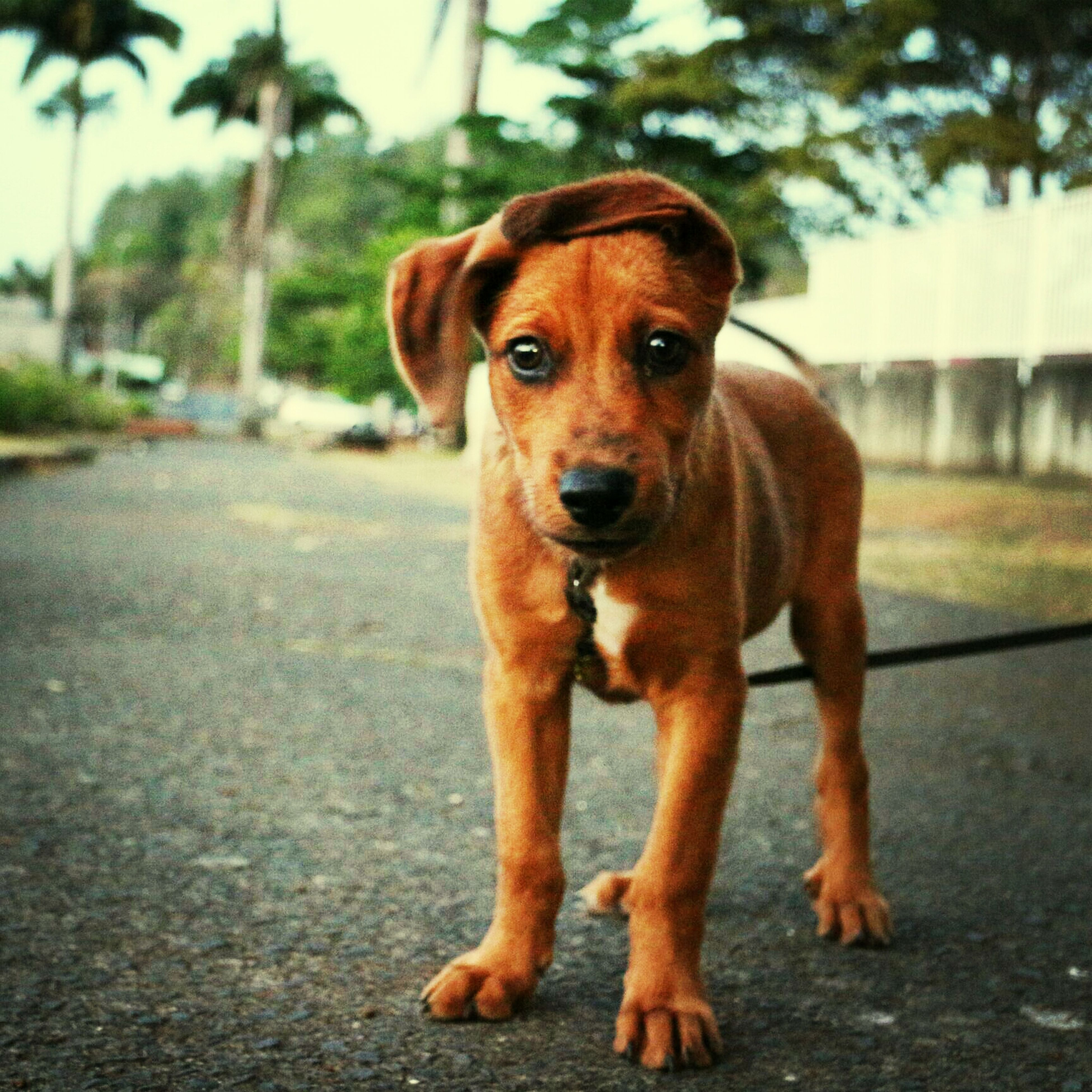 animal themes, one animal, dog, pets, domestic animals, mammal, portrait, looking at camera, focus on foreground, street, sitting, zoology, animal head, close-up, pet collar, brown, standing, front view, full length