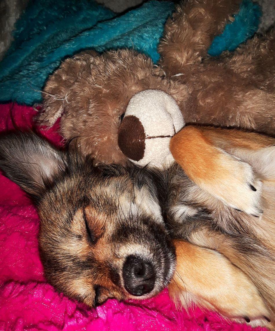Ronny 😁Good Night EyeEm Best Shots Germany🇩🇪 Beliebte Fotos Eyem Collection Hundewelpe Hunde Liebe ♡ Dogs Of EyeEm Dog Photography Hundefotografie Chihuahua Dogs Animal Themes Domestic Animals Dog Pets One Animal Day