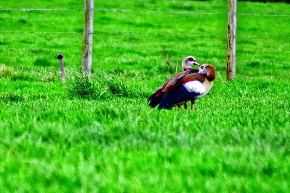 Alopochen Aegyptiaca The Purist (no Edit, No Filter) Alopochen Aegyptiacus Green Color Growth Grass Field Agriculture Outdoors Day Nature Animal Themes Beauty In Nature Occupation Nature As Art Art In Nature I Love Nature EyeEm Nature Lover No People Animals In The Wild Field Bird Tranquil Scene Close-up Beauty In Nature