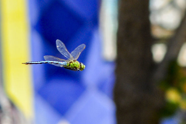 close up dragonfly Beauty In Nature Blue Close-up Day EyeEm Best Shots EyeEm Gallery Focus On Foreground Gragonfly Nature No People Outdoors Selective Focus Spread Wings