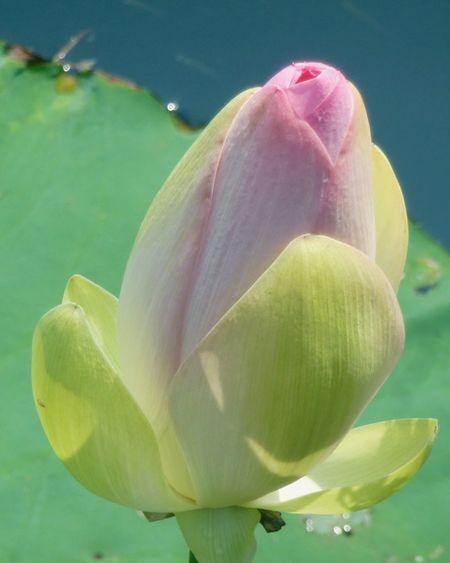 Lotus Lotus Flower Lotus Leaf Lotus Bud Plant Water Plants Living Life Living Plant Sunshine Sunlight Iphone6 Summertime