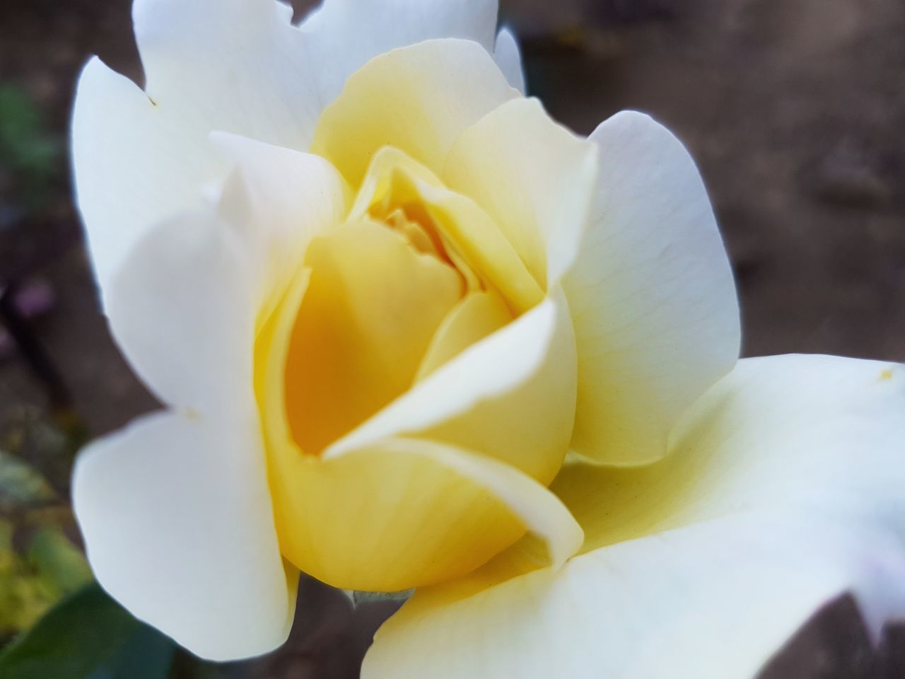 [TFC] Yellow Flower Close-up Springtime Fragility Petal Flower Head Nature No People Outdoors Freshness Beauty In Nature Day White Perspective Contrast And Lights Wonderful Inspirations Plant Beauty In Nature Freshness Tranquil Scene Growth Rose - Flower Simplicity