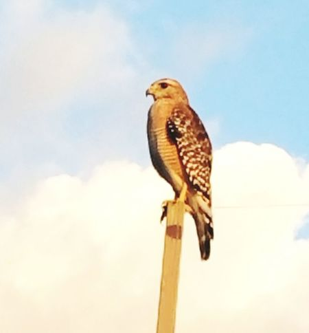 Animal Wildlife One Animal Bird Animals In The Wild Sky Perching Hawk - BirdAnimal Themes Nature Low Angle View No People Outdoors Bird Of Prey Wooden Post Full Length Owl Day Mourning Dove