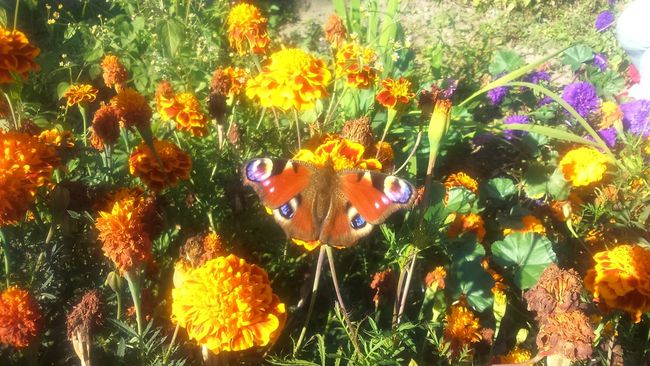 Flower Fragility In Bloom Baterfly Garden Orange Color No Edit/no Filter