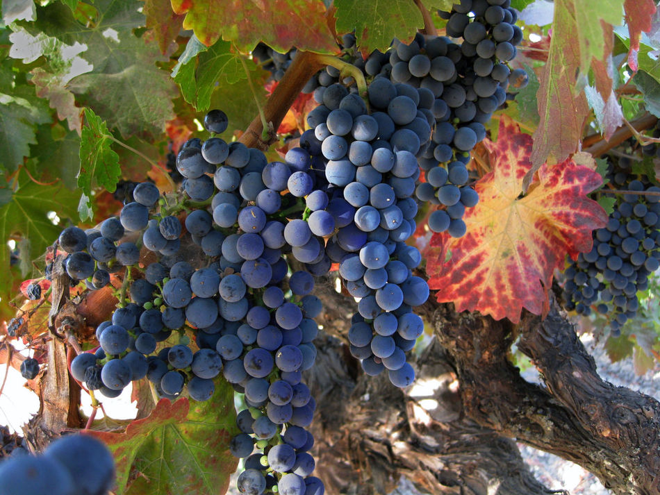 California Focus On Foreground Napa Valley Napa Valley Grapes Npa Valley Vineyard Re Wine Gra Red Wine Wine