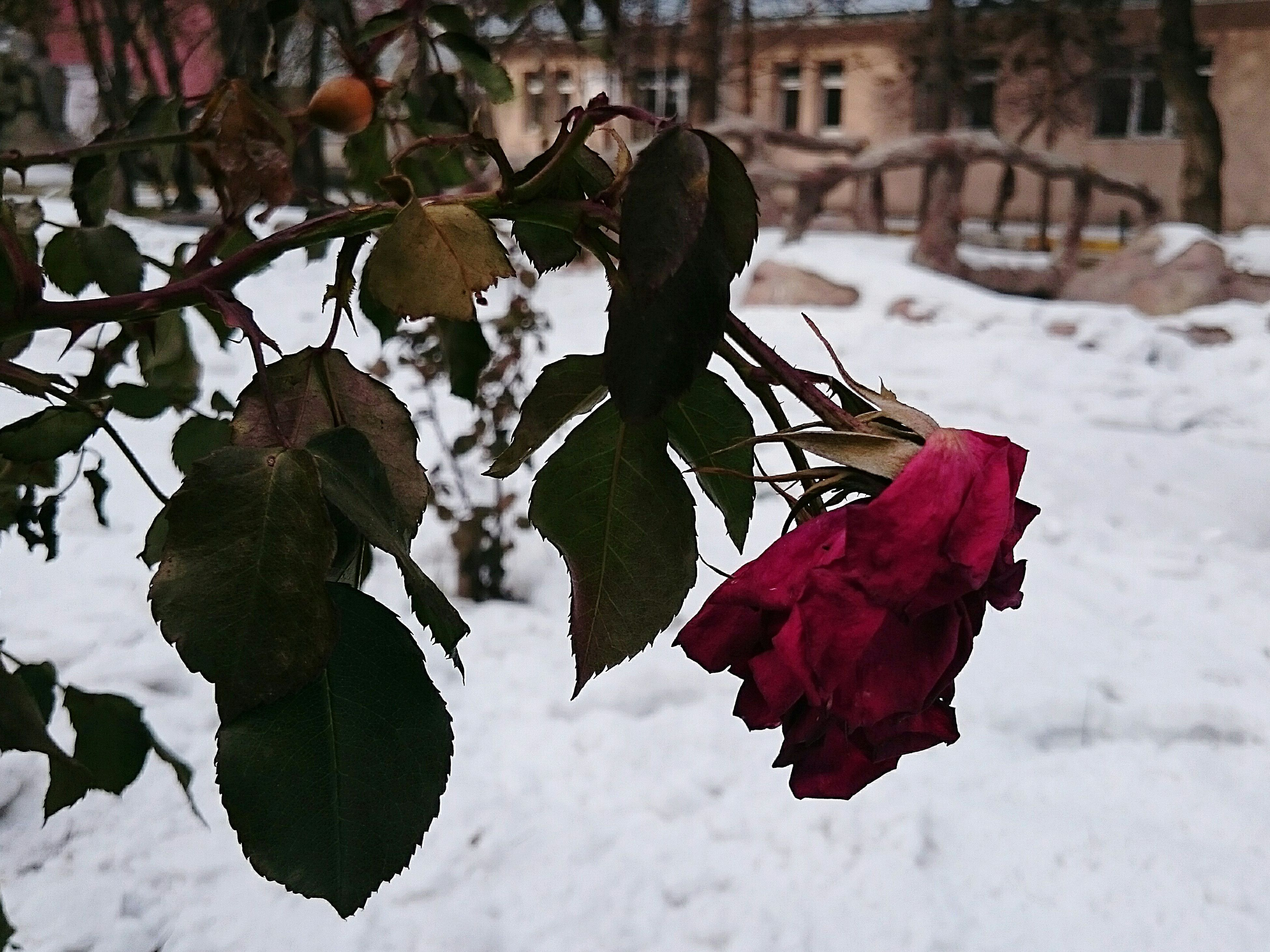 winter, season, snow, leaf, cold temperature, focus on foreground, nature, growth, close-up, weather, red, beauty in nature, plant, fragility, flower, day, outdoors, no people, tranquility, frozen