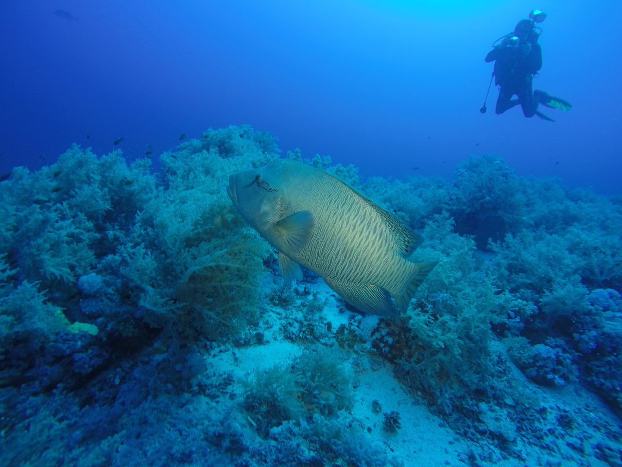 A large napoleon fish passing by while diving at the Daedalus Reef in the Red Sea, Egypt Adventure Animal Wildlife Beauty In Nature Diving Egypt Exploration Fish Fishing Napoleon Nature Naturelovers Ocean Red Sea Reef Scenics SCUBA Scuba Diving Scuba Diving Sea Sea Life UnderSea Underwater Water
