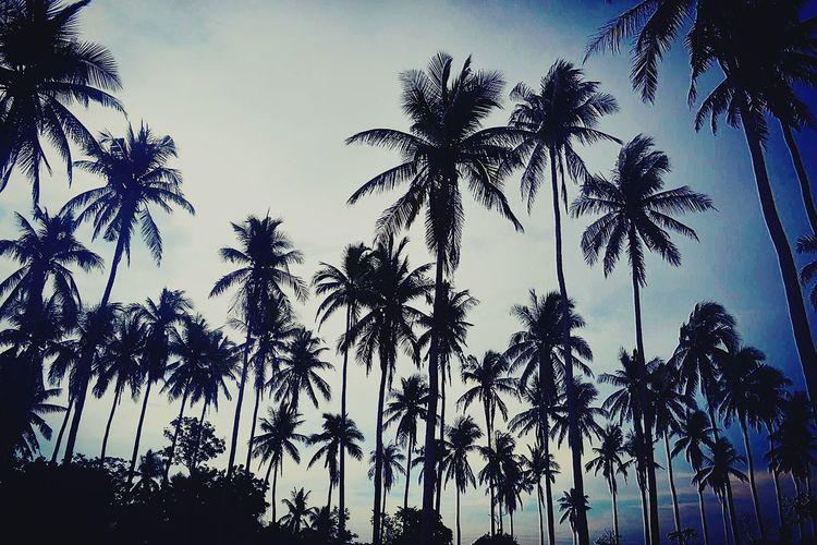 Palm trees make stunning poses too. 🌴 Eyeemphotography Nature Photography Eyeem Philippines EyeEm Nature Lover Eyeem Philippines Enjoying Life Bolinao Escapade EyeEm Best Shots - Nature Eyeforphotography 2016 EyeEm Awards Philippines The Photojournalist - 2016 EyeEm Awards Tourist Destination Eyeembestsellers Tourism Nature Eyeem Pangasinan