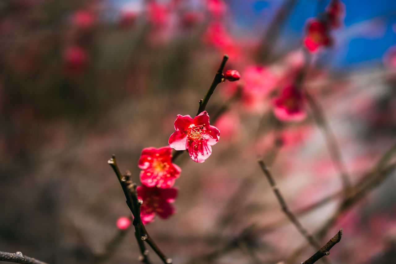 flower, red, fragility, growth, beauty in nature, nature, freshness, petal, focus on foreground, no people, springtime, flower head, close-up, outdoors, day, pink color, plum blossom, branch, plant, blooming, tree
