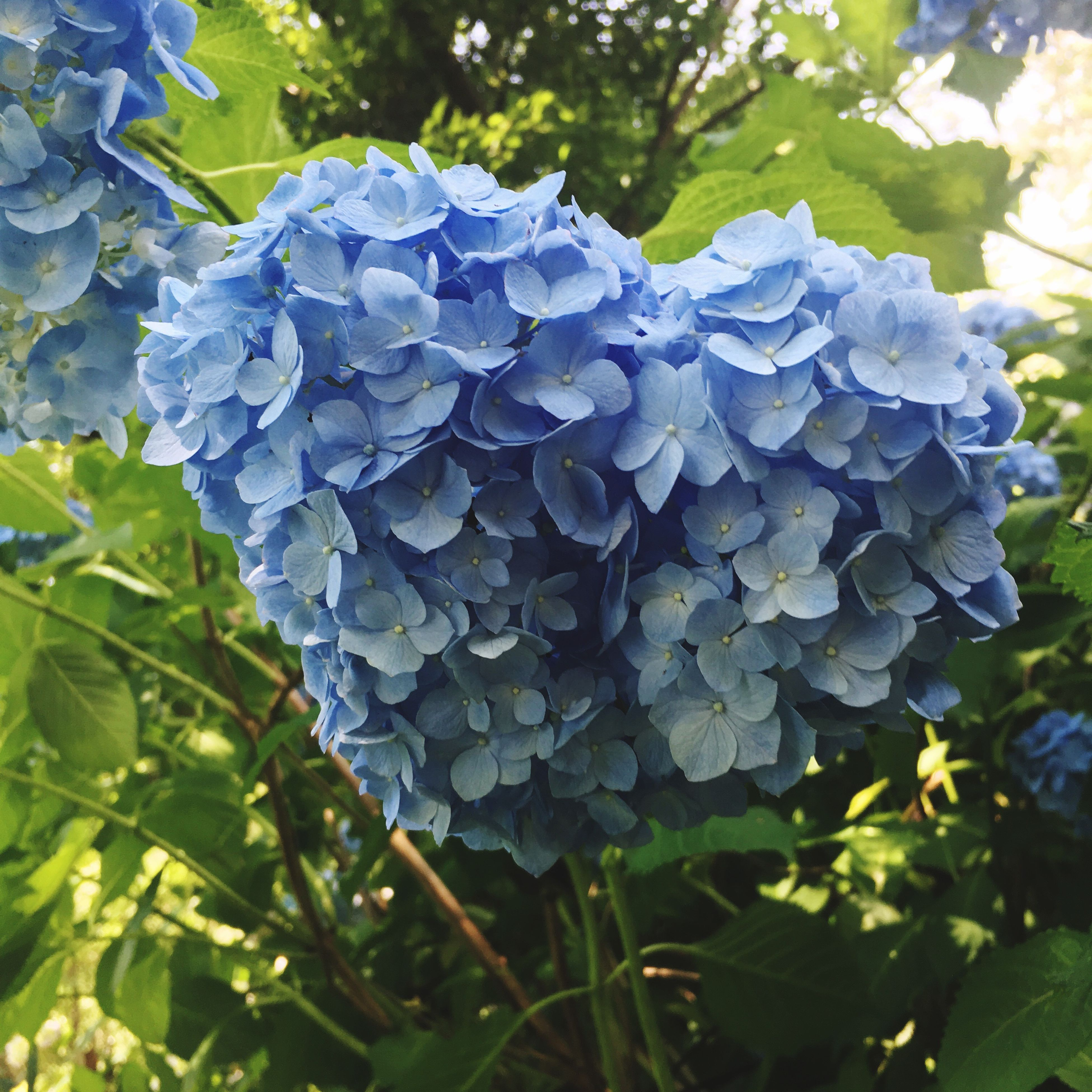 beauty in nature, flower, growth, nature, hydrangea, plant, day, fragility, petal, freshness, outdoors, no people, leaf, close-up, blooming, tree, flower head