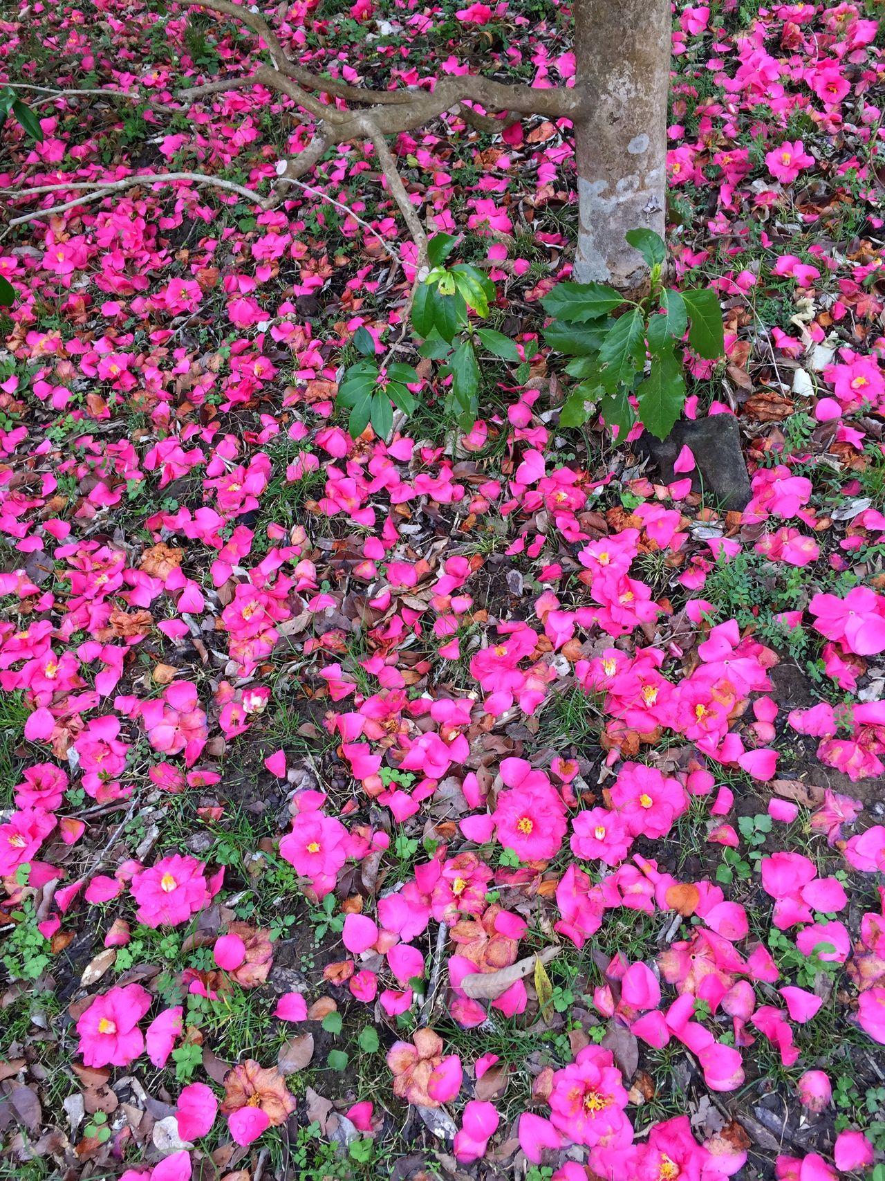 Camellia Spring Nature Country Life Enjoying Life Japan Tokyo IPhoneography