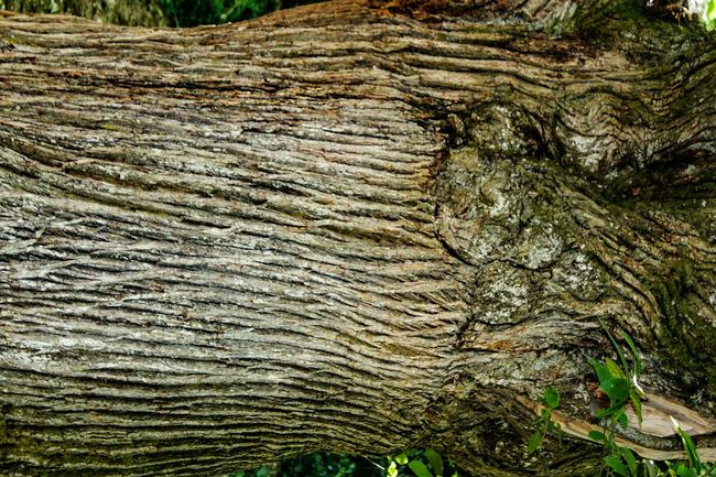 Textured  Growth Full Frame WoodLand Nature Centenary Tree Pattern Patterns Patterns In Nature Tree Trunk Tree Art Lasmédulas Beauty In Nature EyeEm Gallery Check This Out