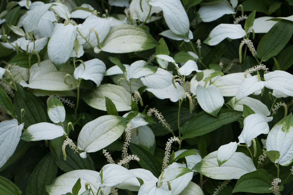 Beauty In Nature Close-up Day Freshness Green Green Color Growing Growth Leaf Leaves Nature No People Plant Saururus Chinensis