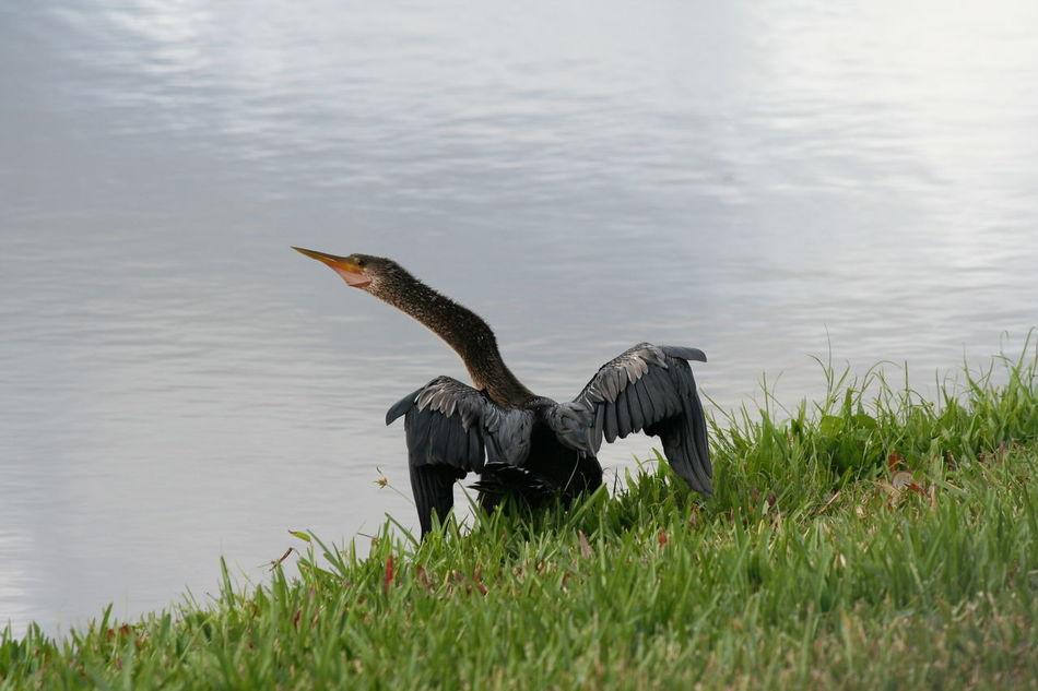 Anhinga Animal Themes Beauty In Nature Bird Bird Photography Birds Of EyeEm  Birdwatching Black Bird Darter Grass Lake Snakebird Wings Solivita
