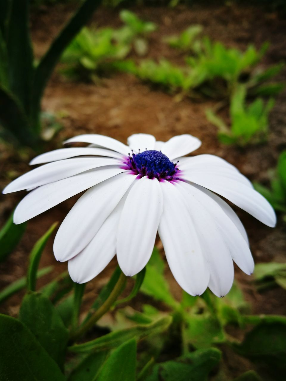 flower, petal, white color, fragility, flower head, freshness, beauty in nature, growth, nature, focus on foreground, plant, blooming, close-up, day, no people, outdoors, osteospermum, periwinkle