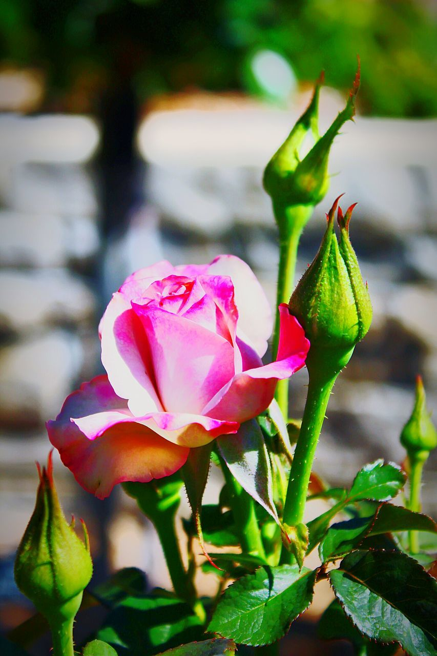 flower, petal, fragility, growth, beauty in nature, pink color, nature, freshness, flower head, green color, focus on foreground, plant, close-up, no people, outdoors, day, leaf, blooming