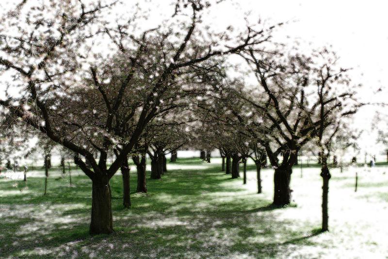 Baumblüte Bäume Cherry Cherry Blossoms Chilling Idyllic Kirschblüte Kirschbäume Light And Shadow Nature Romantic Sun Trees Home Is Where The Art Is