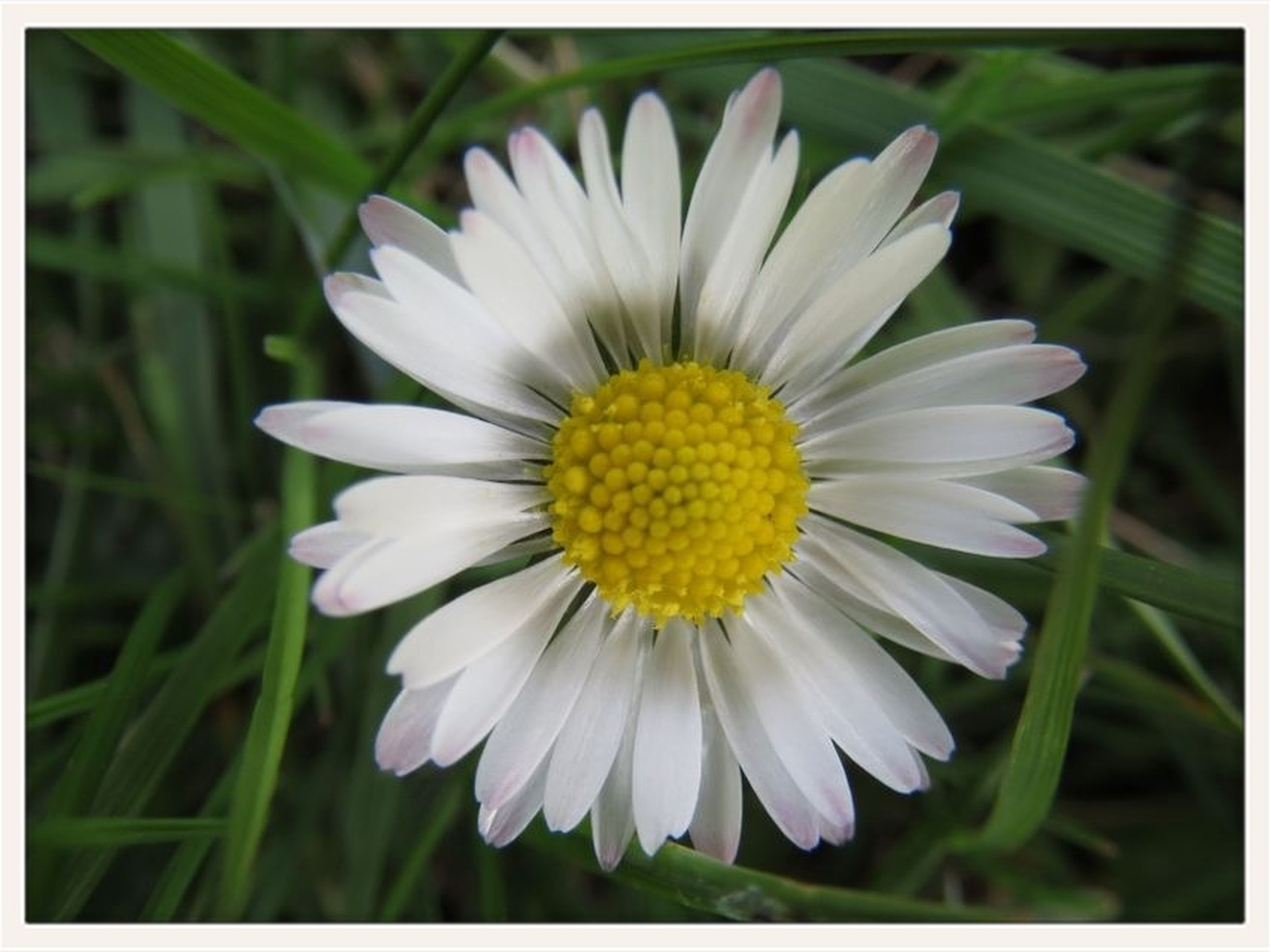 transfer print, flower, petal, freshness, flower head, fragility, auto post production filter, growth, yellow, beauty in nature, close-up, blooming, nature, pollen, focus on foreground, white color, plant, single flower, daisy, in bloom
