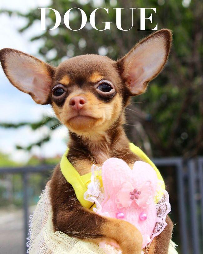 My puppy Russiantoy Russiantoyterier Russiantoyterrier Lovedog Vogue