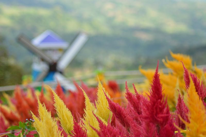 Country Philippines Siraoflowerfarm Cebu Travel Colors Flowers