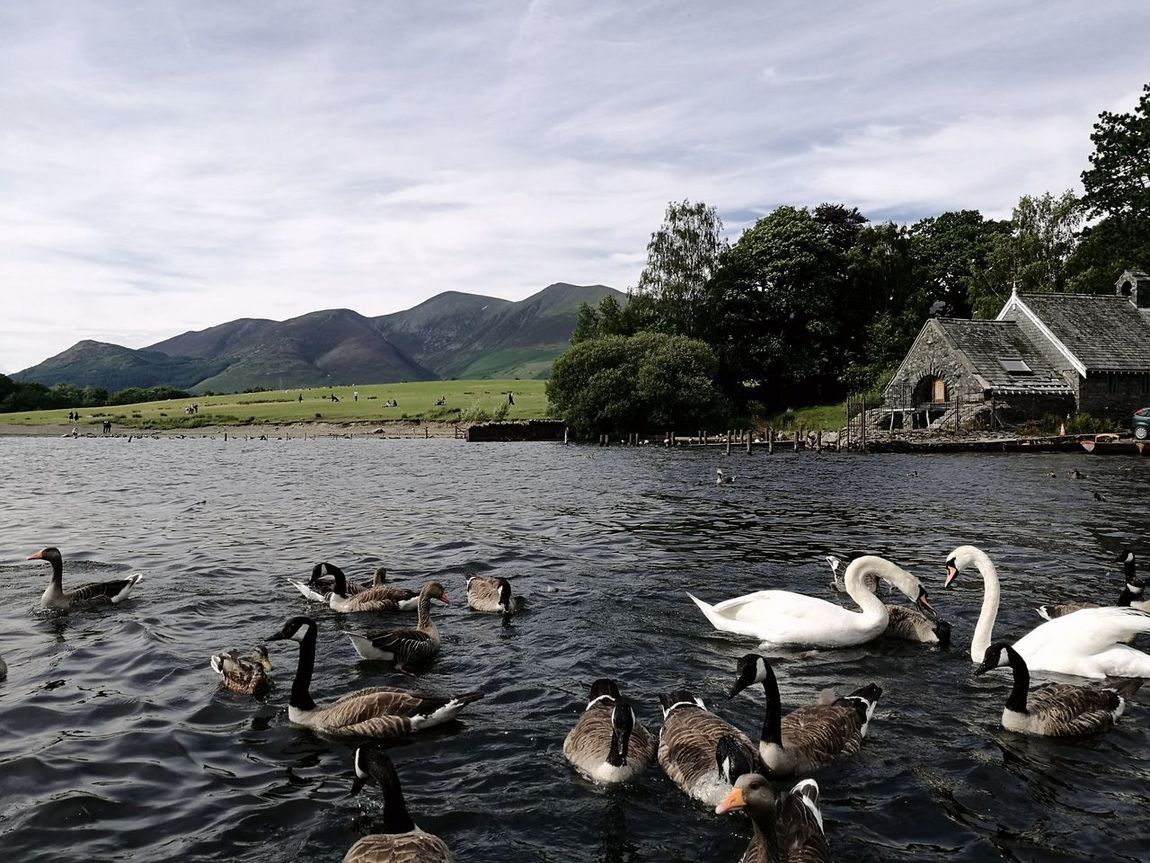 Lake District Swans On The Lake Swans Check This Out Hello World Relaxing Hanging Out England🇬🇧 Farytale Gooses Best Of July Animals My Year My View My Year My View EyeEm Selects