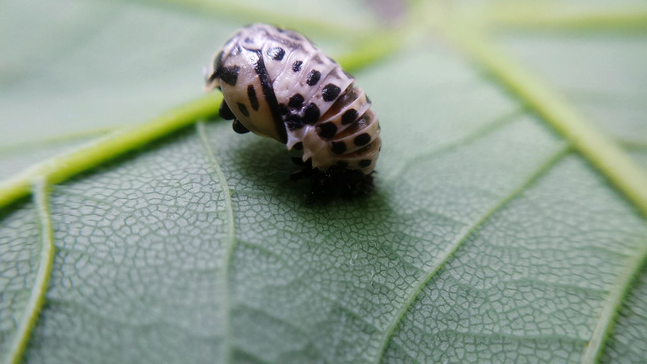leaf, insect, one animal, animal themes, animals in the wild, close-up, no people, day, nature, animal wildlife, outdoors