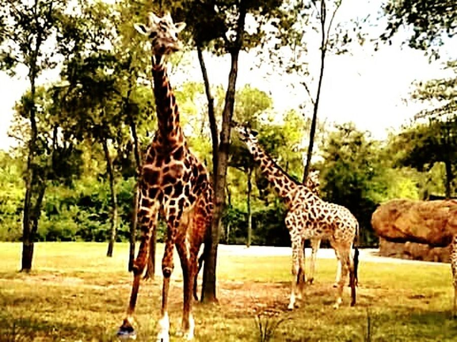 Giraffes Nashville Zoo Taking Photos Family Fun Day  Zoo Day