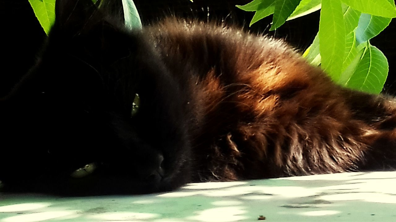 Portrait Of A Cat Animal Themes Close-up Green Eyes Cat Lovers Tree Leaf Domestic Animals One Animal No People Black Color Cats Of EyeEm. Black Cat Kitten 🐱 Sleepy Kitty Nature Beauty In Nature Sleepy Cat Cats 🐱 Kitty Cat Cat♡ Pets Black Cats Black Cats Are Beautiful Day