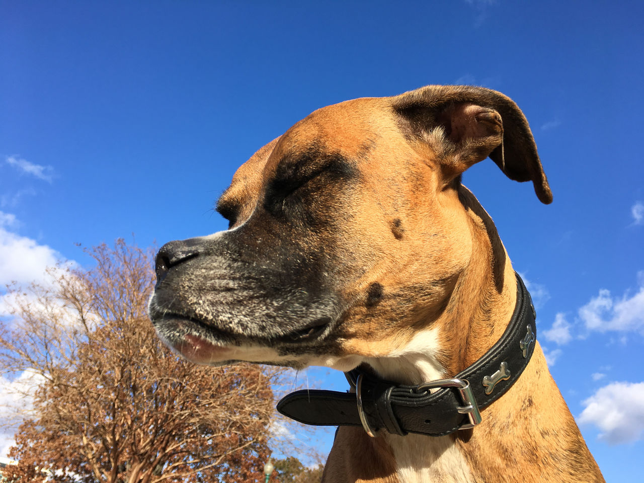 Animal Themes Animals In The Wild Blue Boxer Dog Close-up Day Domestic Animals Low Angle View Mammal Nature No People One Animal Outdoors Profile Sky Sunlight