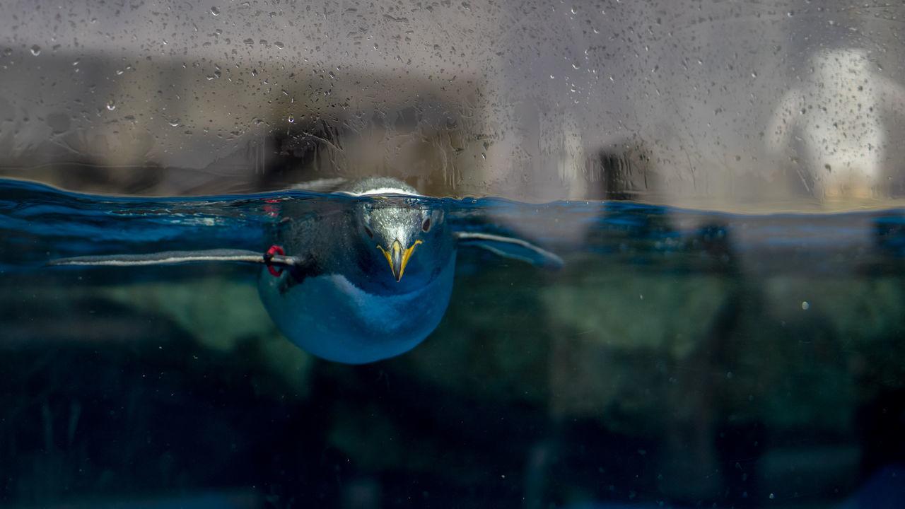 Beautiful stock photos of pinguin, Animal Themes, Animals In Captivity, Aquarium, Bird