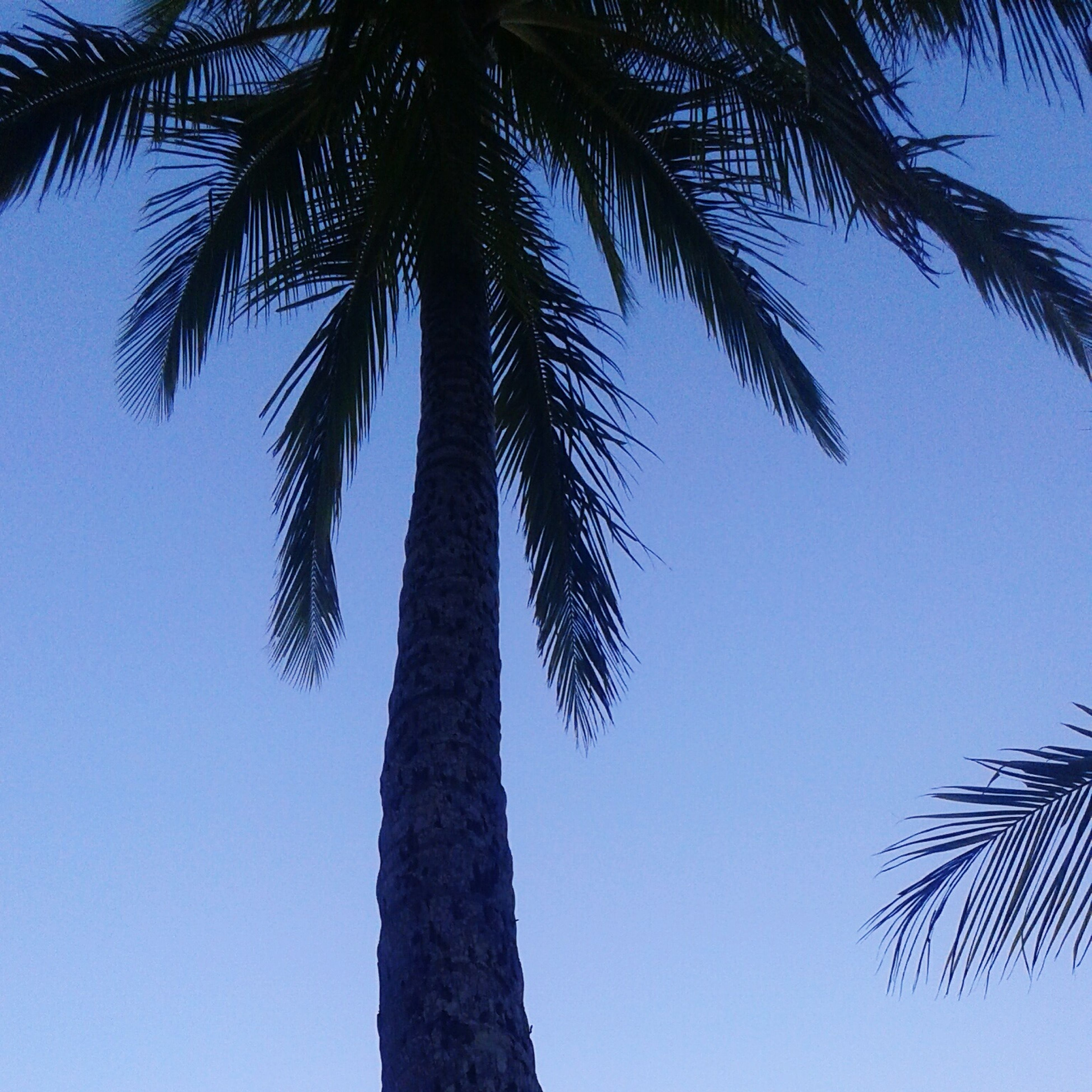 low angle view, palm tree, tree, clear sky, tree trunk, growth, tranquility, nature, blue, branch, beauty in nature, tall - high, coconut palm tree, palm leaf, sky, day, scenics, outdoors, tranquil scene, no people