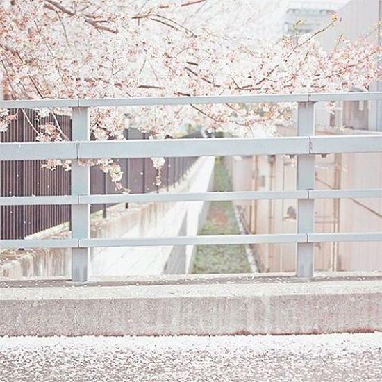 Kawaii. 🌸 Japon Japan Otaku Blanc Rosé Manga KAWAII Tokyoghoul Miaou OnePiece Farytail Frensh Baka Eurasienne Panda Blackandwhite