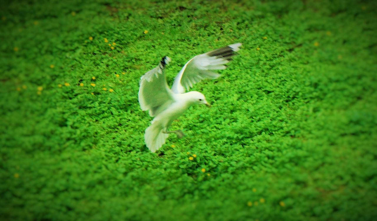 animal themes, green color, motion, grass, one animal, nature, running, growth, field, no people, day, outdoors, flying, bird, full length, domestic animals, mammal