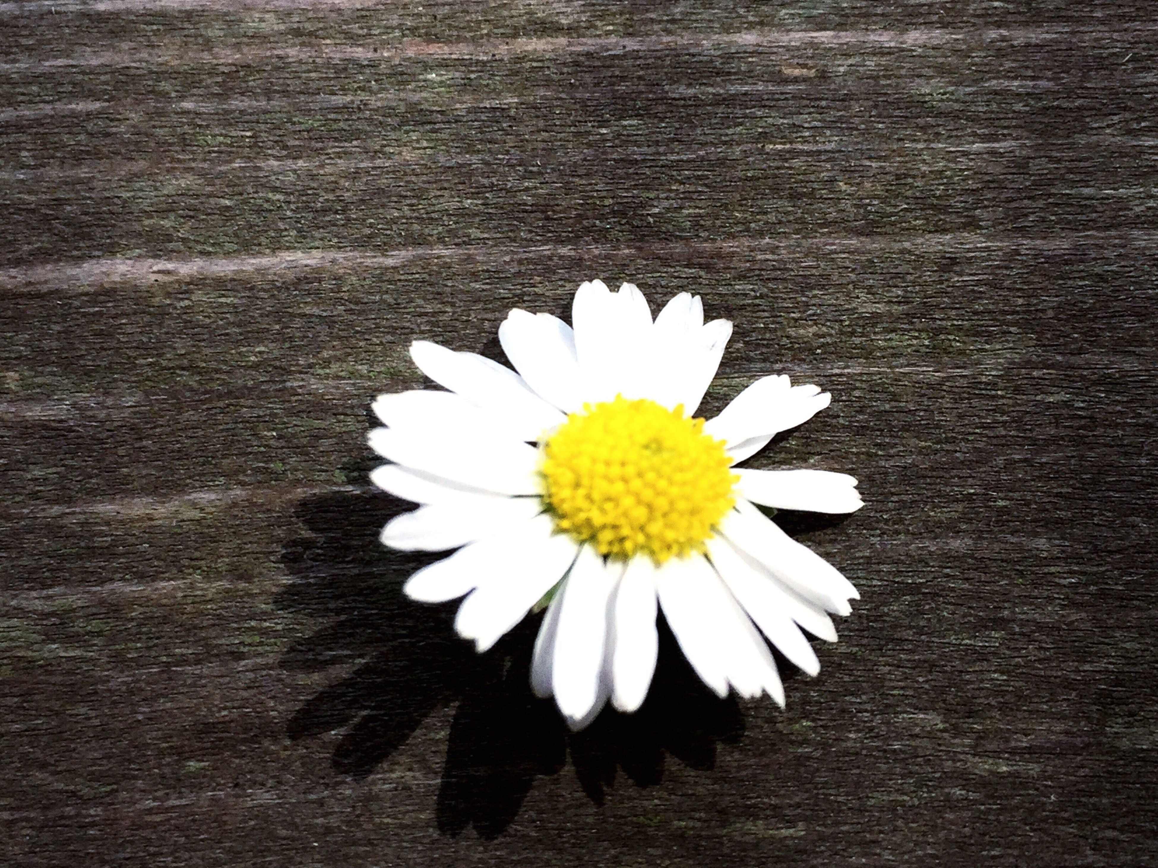 flower, petal, flower head, daisy, white color, freshness, fragility, pollen, yellow, beauty in nature, close-up, nature, white, blooming, no people, growth, day, outdoors, in bloom, botany, focus on foreground, elevated view, softness, selective focus