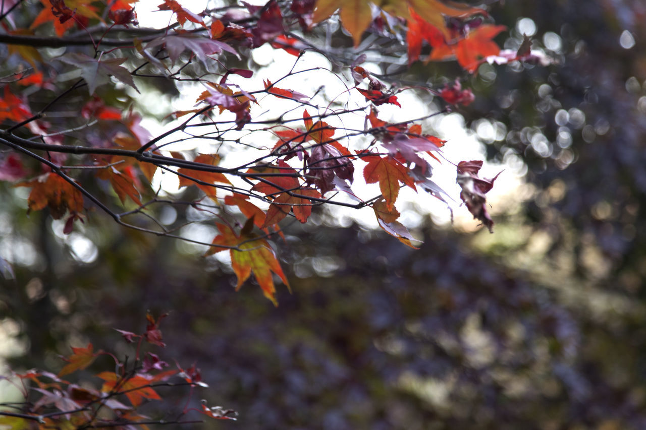 autumn in Maisan Mountain, Muan, Jeonbuk, South Korea Autumn Autumn Beauty In Nature Branch Change Close-up Day Fall Focus On Foreground Forest Fragility Freshness Growth Leaf Low Angle View Maisan Maple Maple Leaf Maple Tree Nature No People Outdoors Tranquility Tree