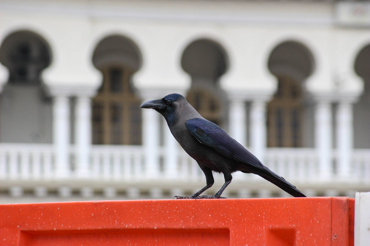 Animal Themes Animal Wildlife Animals In The Wild Arabic Architecture Arch Architecture Bird Building Exterior Built Structure Close-up Crow Day Focus On Foreground Nature No People One Animal Outdoors Perching Railing Red