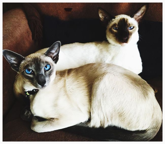 my beautiful kitties, ms stevie and mr jobs Relaxing EyeEm Best Shots - HDR Steve Jobs Siamesecats