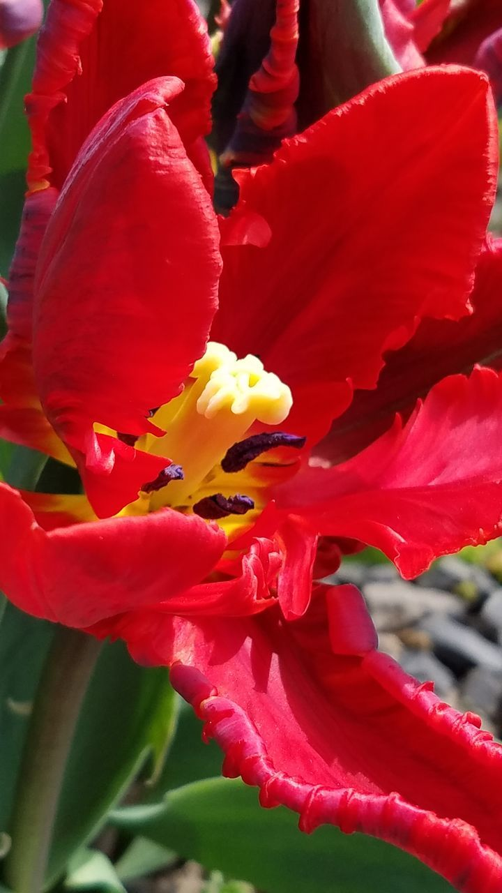 flower, petal, beauty in nature, growth, nature, freshness, fragility, flower head, plant, red, no people, stamen, outdoors, close-up, blooming, day, day lily