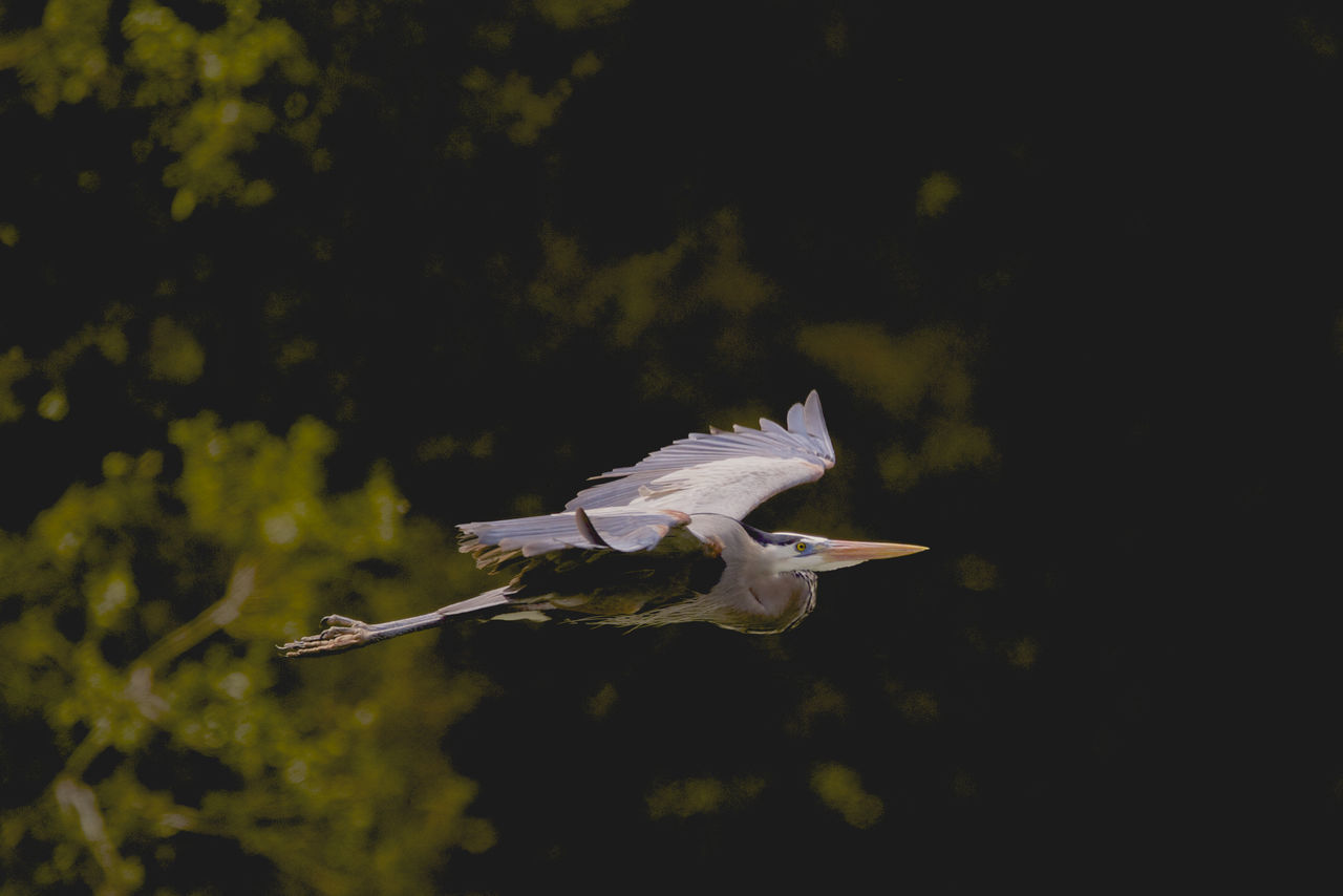 Close-Up Of Great Blue Heron Flying