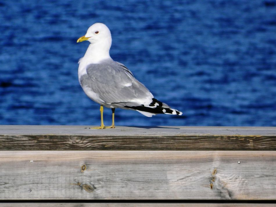 Bird One Animal Animal Wildlife Animals In The Wild Perching Seagull Animal Themes No People Outdoors Nature Day Sea Close-up Full Frame Sunshine Scenics Gästrikland Built Structure