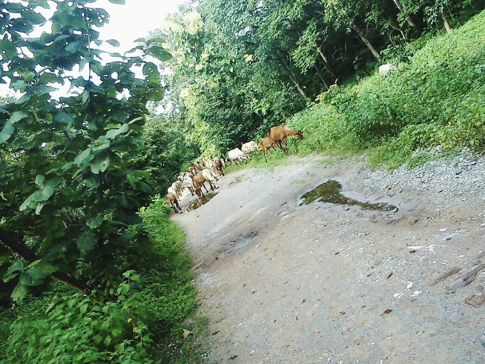 Hidden Gems  Road Forest Forest Road Bike Ride India Cows Herd Of Cows